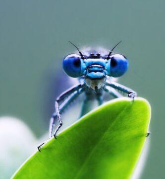 Libélula Azul de cerca